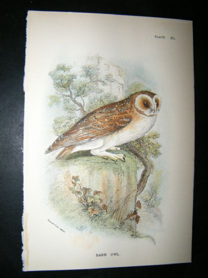 Allen 1890's Antique Bird Print. Barn Owl | Albion Prints